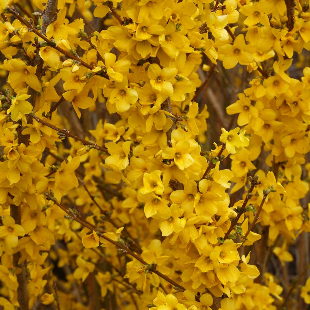 Close up of abundant yellow Show Off Forsythia blooms