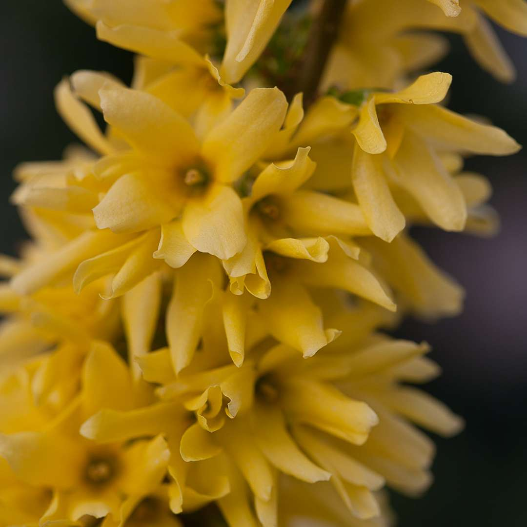 Close up of Show Off Forsythia blooms