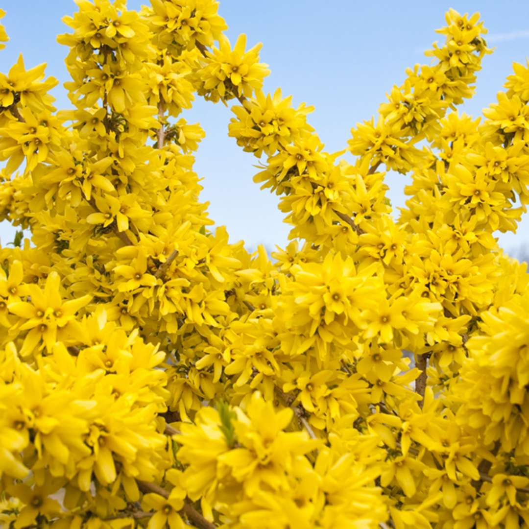 Show Off Forsythia heavy blooming with blue sky