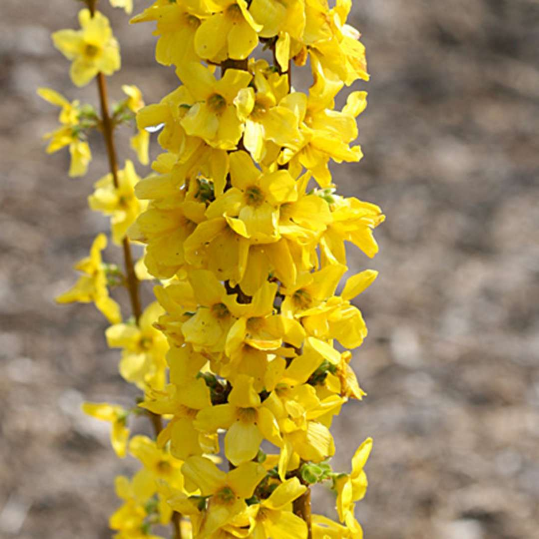 Close up of blooming Show Off Sugar Baby Forsythia