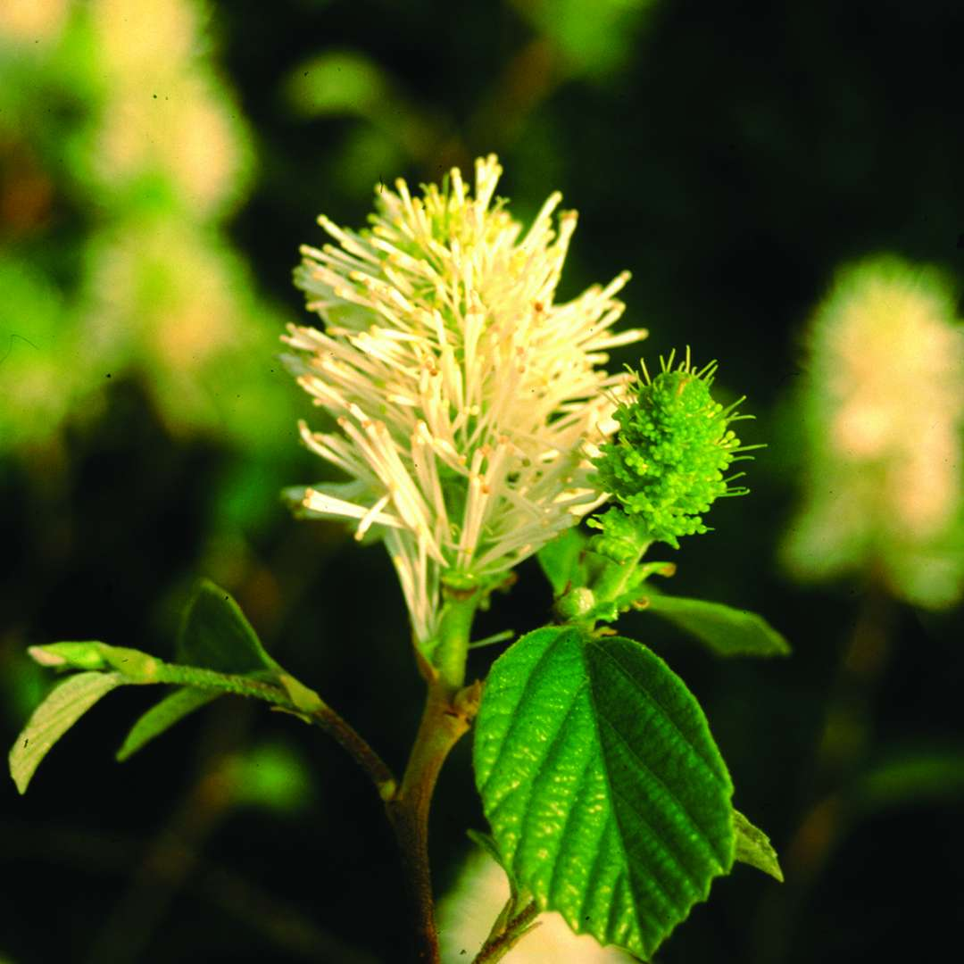Close up of Mount Airy Fothergilla bloom