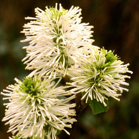 Close up of Fothergilla gardenii white blooms