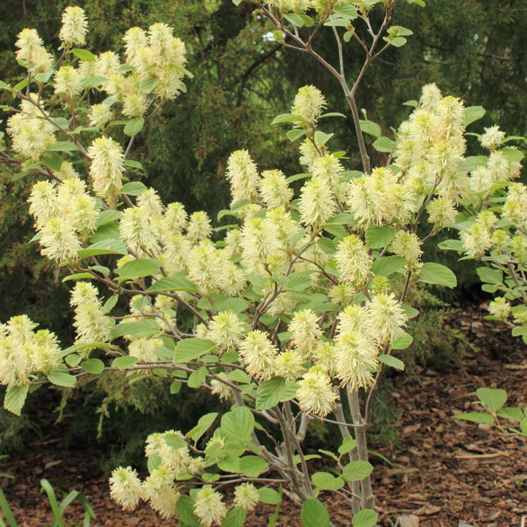 Fothergilla gardenii blooming in a bed of mulch