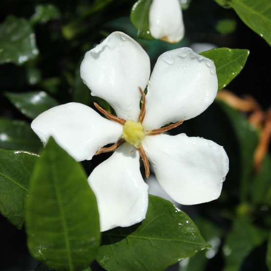 Close up of white Grif's Select Gardenia bloom
