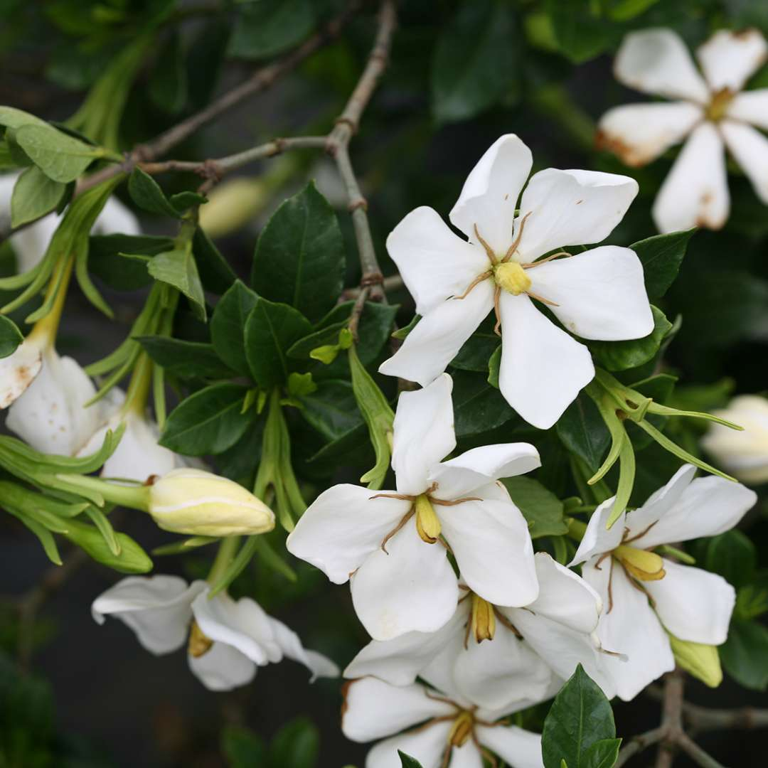 Multiple Grif's Select Gardenia blooms
