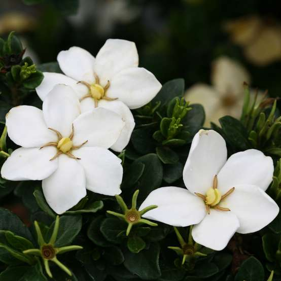 Close up of crisp white Kleim's Hardy Gardenia blooms