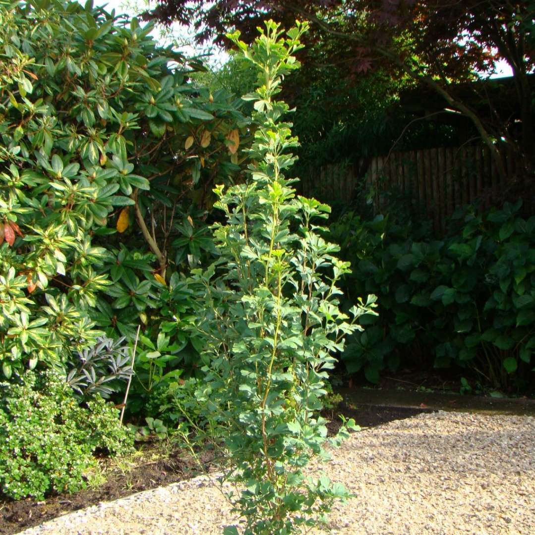 Strictly upright Skinny Fit ginkgo planted in a stone garden.