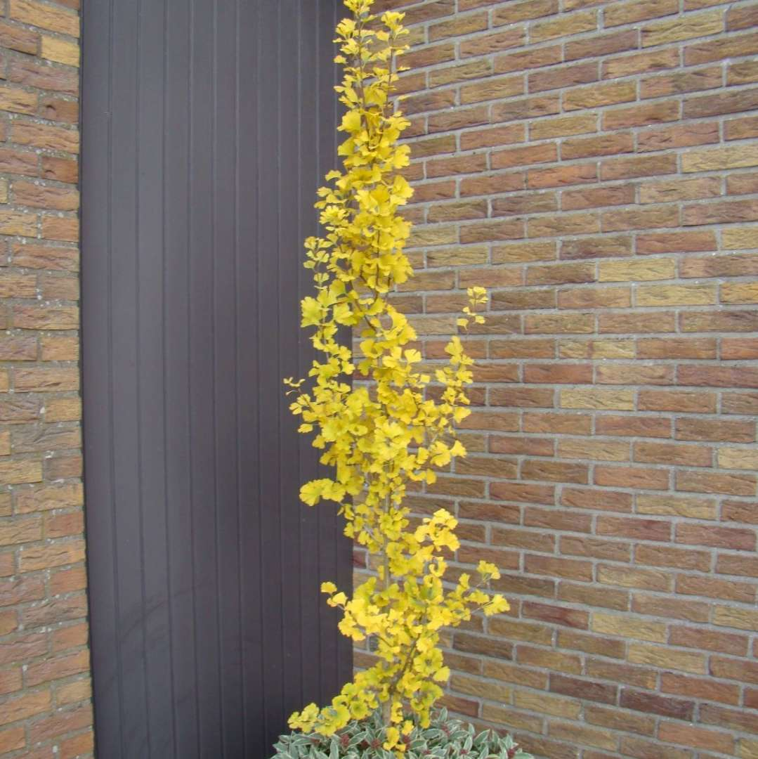 Bright yellow foliage on Skinny Fit ginkgo in fall, planted in container against brick wall.