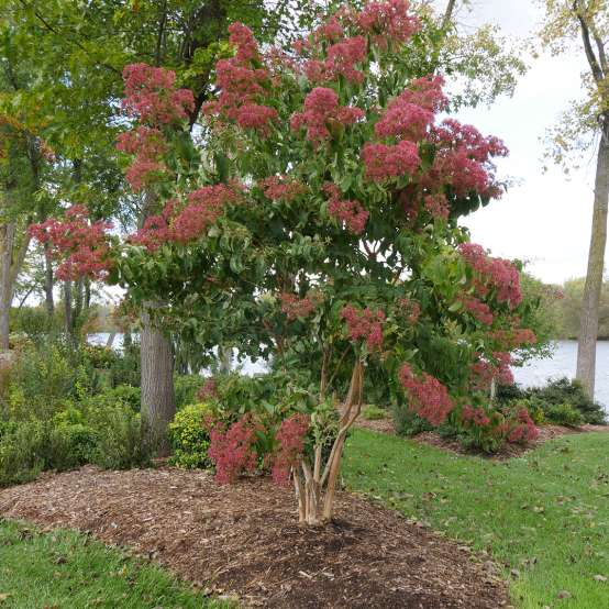 Temple of Bloom Heptacodium blooming in the landscape