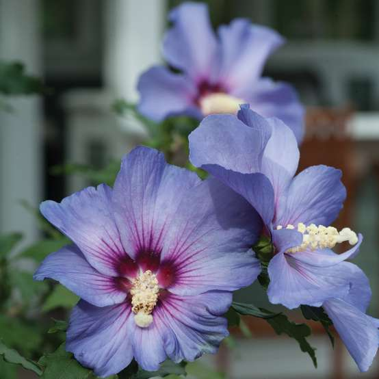Three flowers of Azurri Blue Satin rose of Sharon showing their blue color and red eye in the center