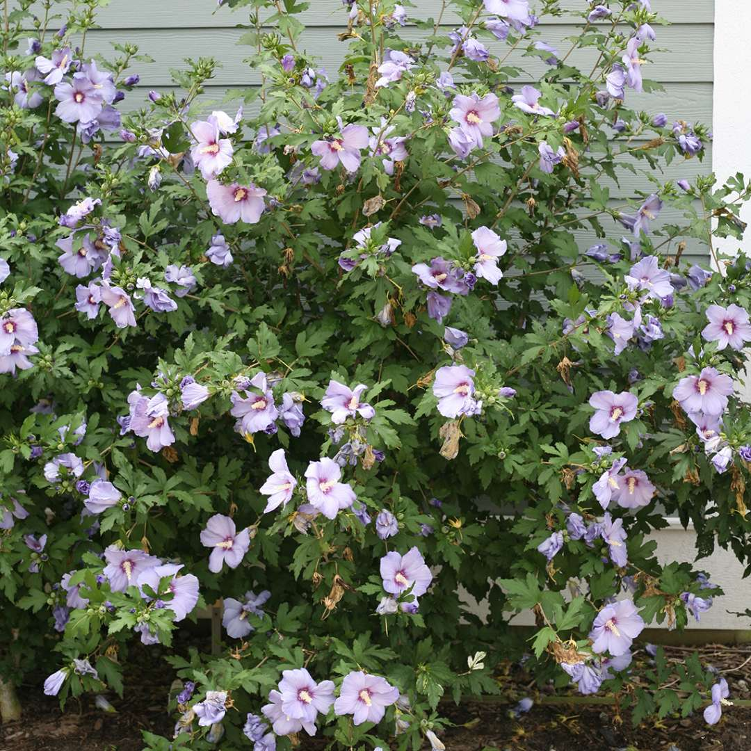 A specimen of Azurri Blue Satin rose of Sharon blooming against a grey wall