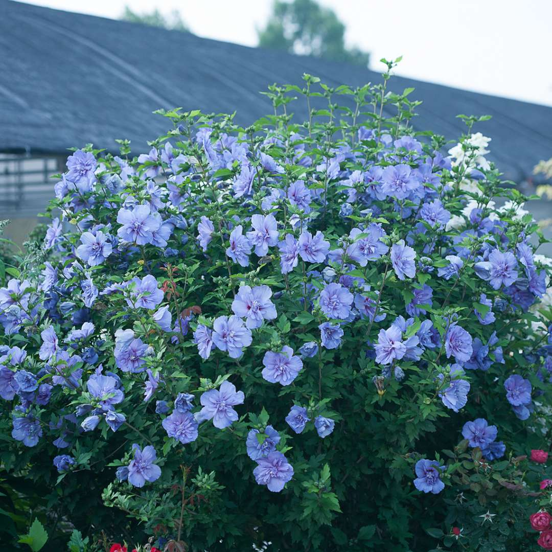 Heavy blooming Blue Chiffon Hibiscus with greenhouse in the background