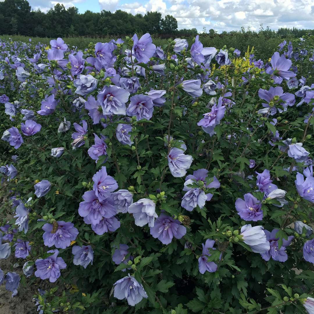 Heavy blooming Blue Chiffon Hibiscus in field
