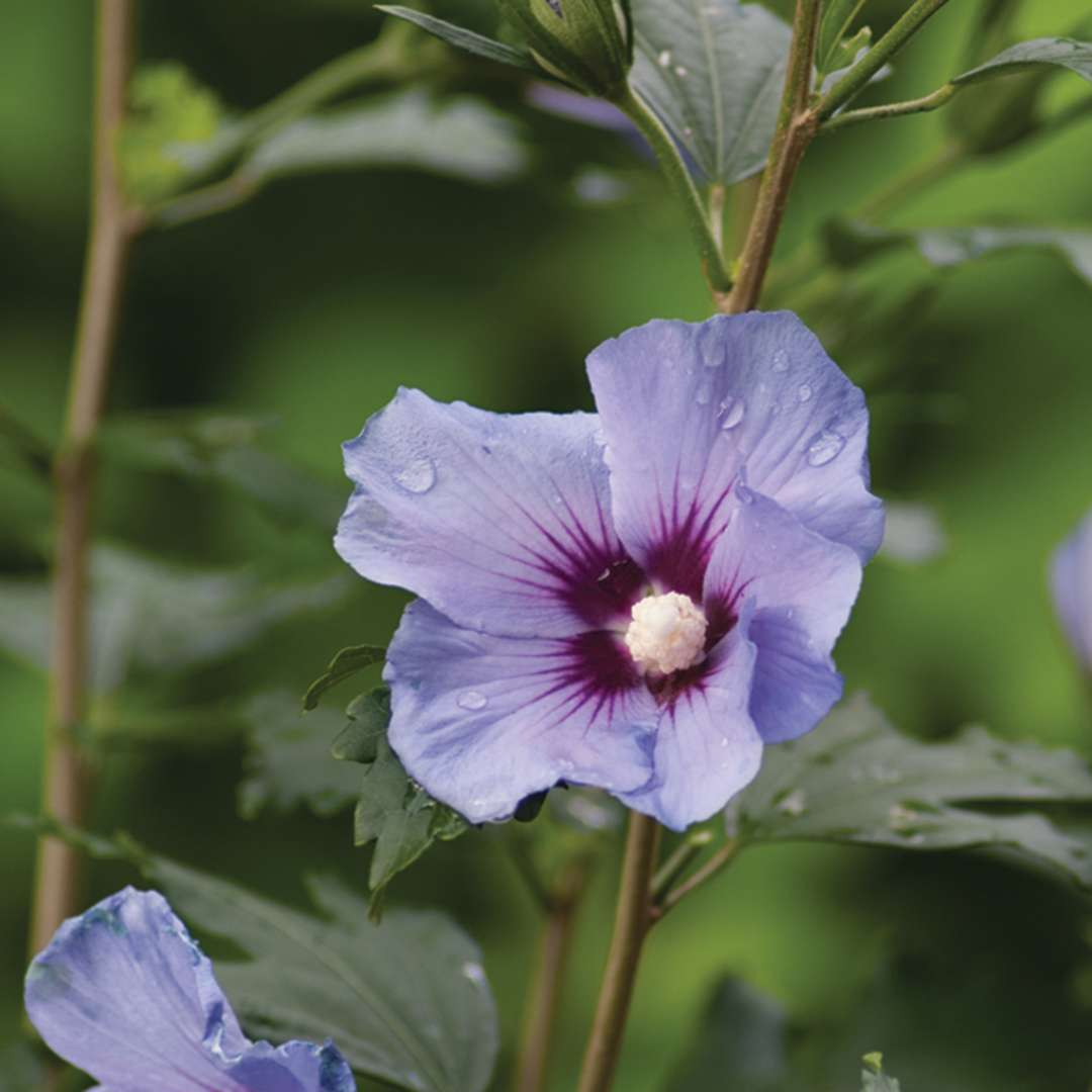 Blue Satin Hibiscus Spring Meadow Wholesale Liners Spring