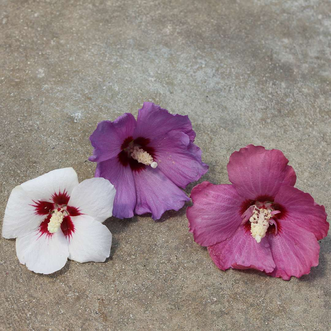 Color comparison between Lil Kim white red and violet Hibiscus blooms