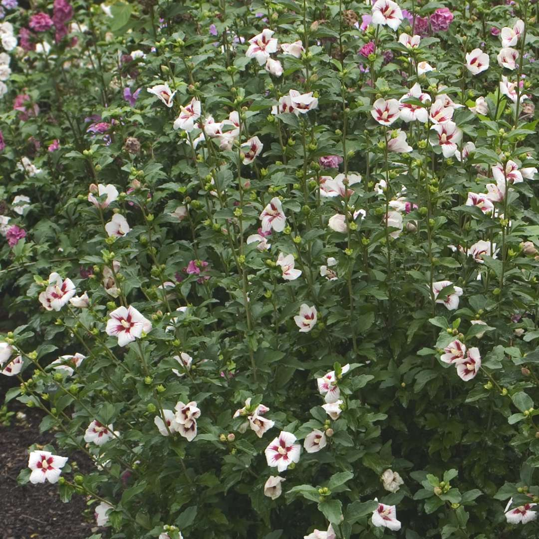 Abundant Lil Kim Hibiscus blooms in the landscape