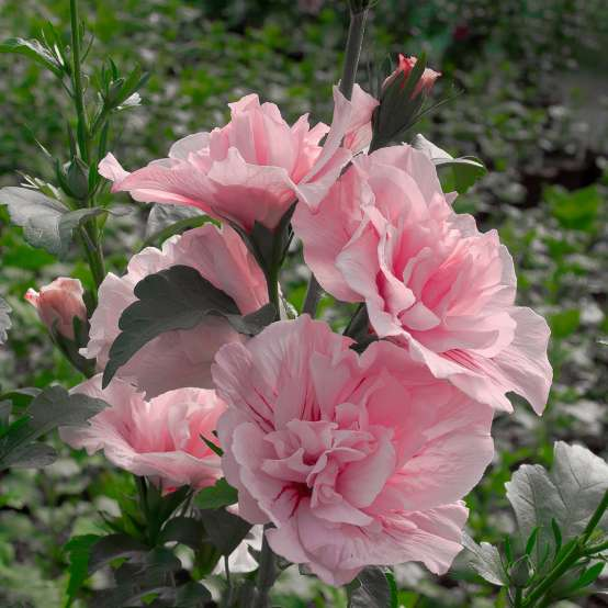 Heavy bloom set on Pink Chiffon Hibiscus