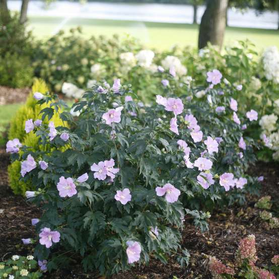 A specimen of Pollypetite hibiscus blooming in a landscape showing off its neat dwarf rounded habit