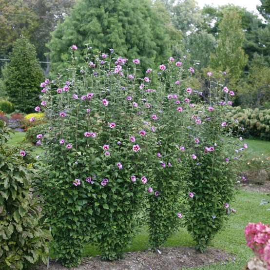 Four Purple Pillar rose of Sharon in a lush landscape showing their distinctive narrow columnar habit