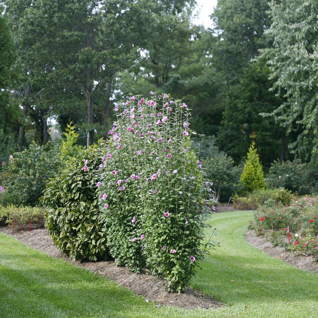 Side view of Purple Pillar rose of Sharon in the landscape where its distinctive narrow columnar habit is very clear