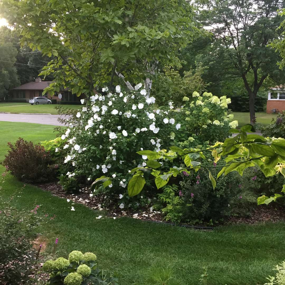 White Chiffon Hibiscus blooming in landscape bed