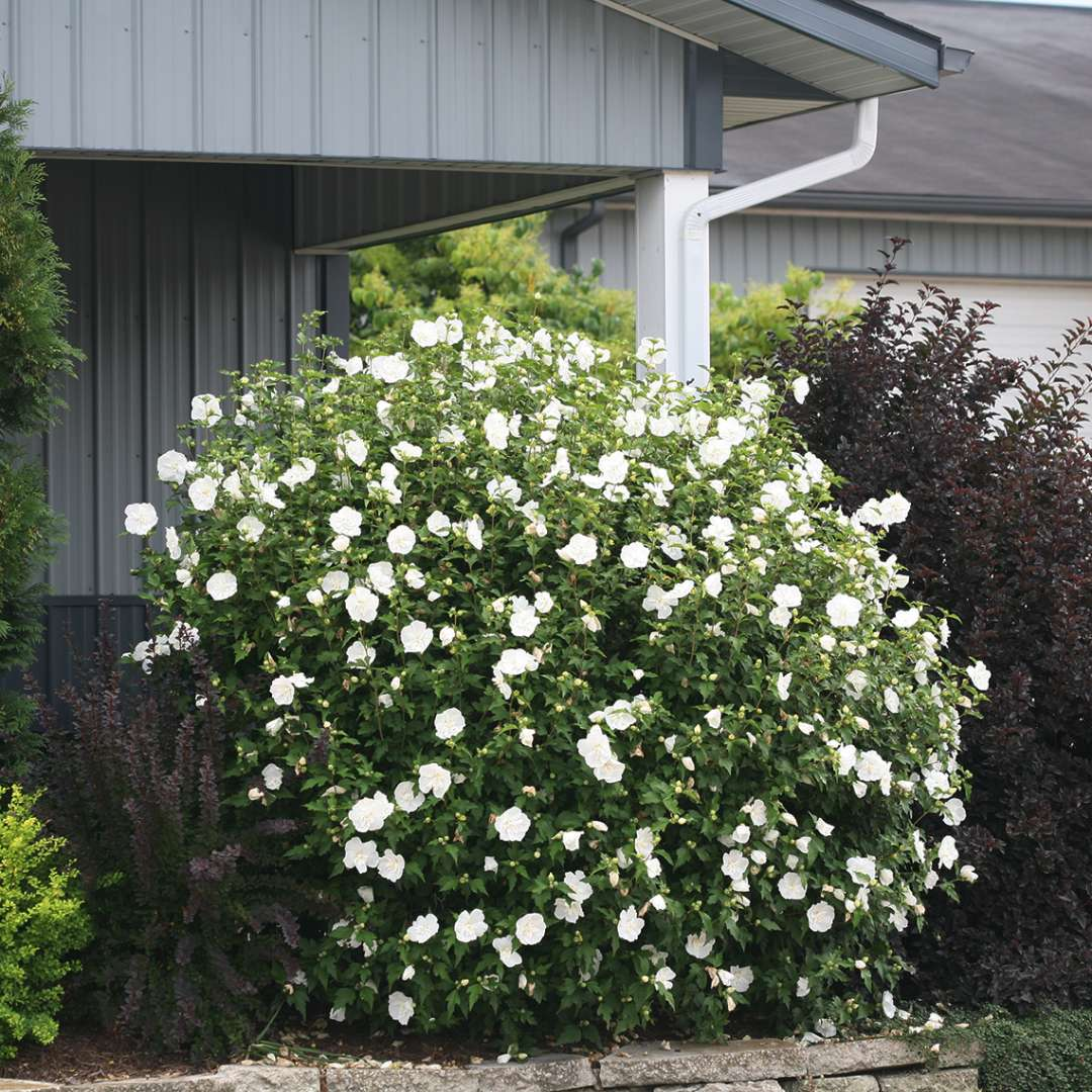 White Chiffon Hibiscus blooming next to building in landscape bed