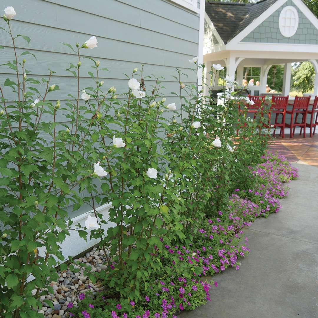 Five White Pillar rose of Sharon growing along a patio showing their narrow columnar habit
