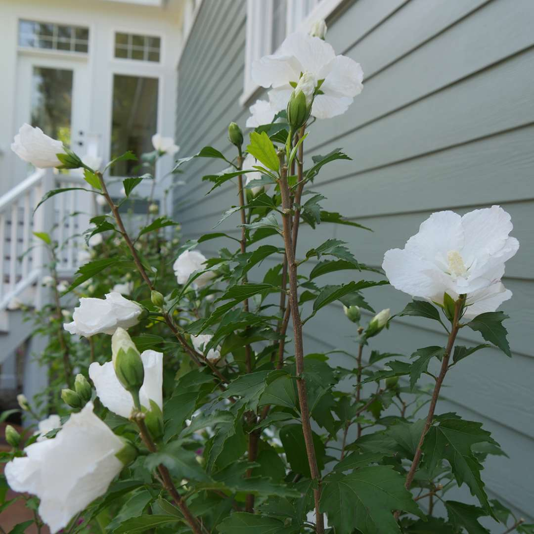 The topmost branches of a White Pillar rose of Sharon showing lots of white flowers and slender upright branches