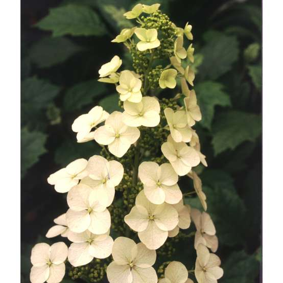 A large lacecap white bloom of Alice oakleaf hydrangea