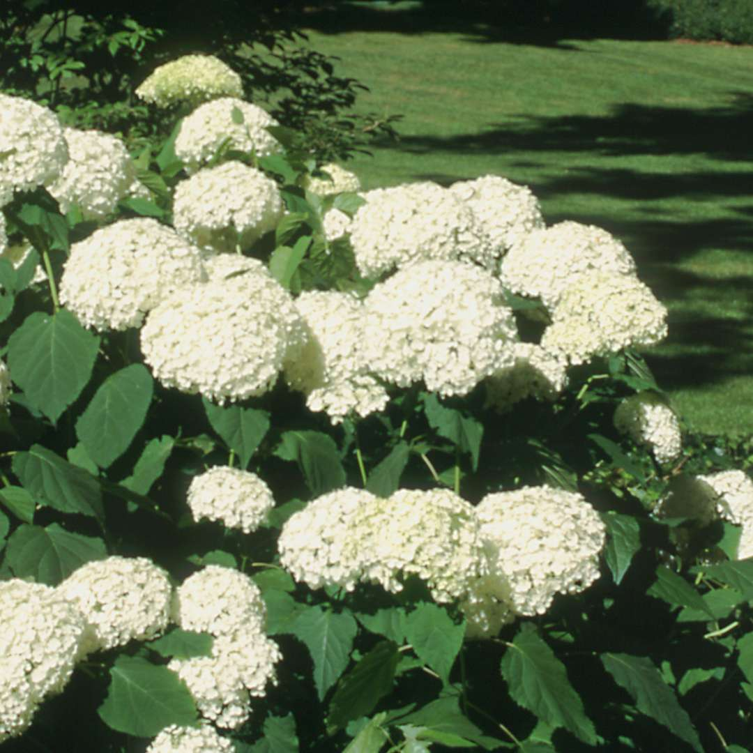 Annabelle Hydrangea Covered In White Flowers