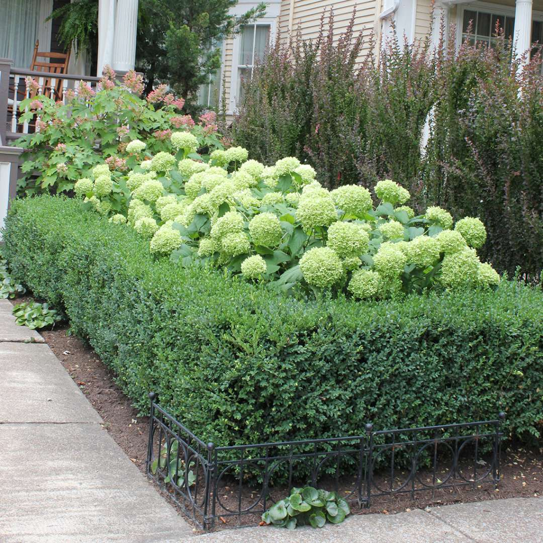 Annabelle Hydrangea Surrounded By Boxwood Which Is Holding Up The Floppy Stems