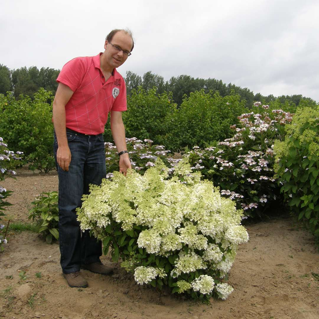 A specimen of Bobo hydrangea in full bloom in a landscape with a man in a red shirt next to it showing its very dwarf size