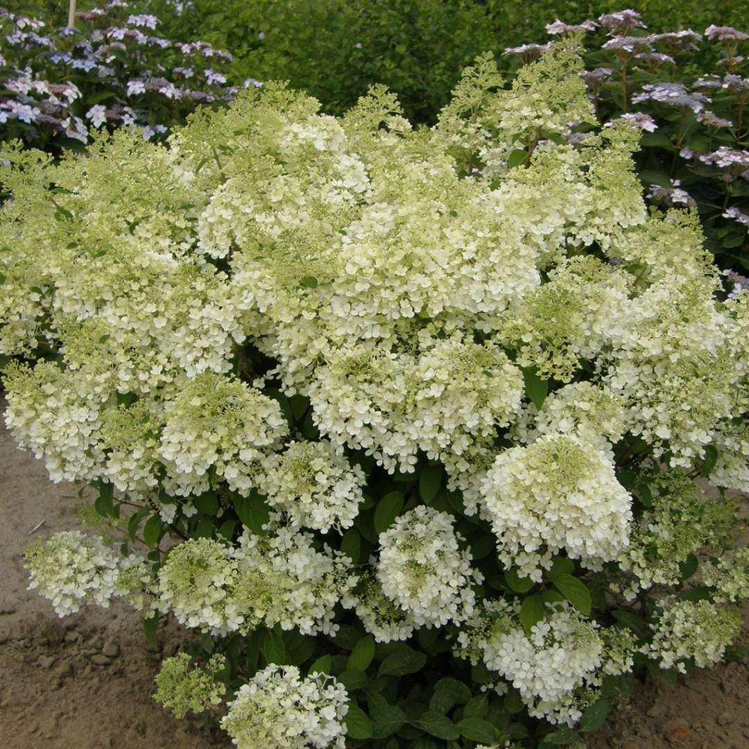 A specimen of Bobo hydrangea that is positively smothered in lacy white mophead blooms