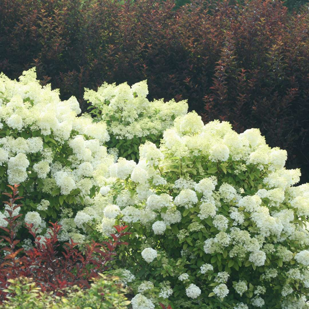 Several Bobo hydrangea shrubs in full bloom in a landscape with a backdrop of dark red ninebark