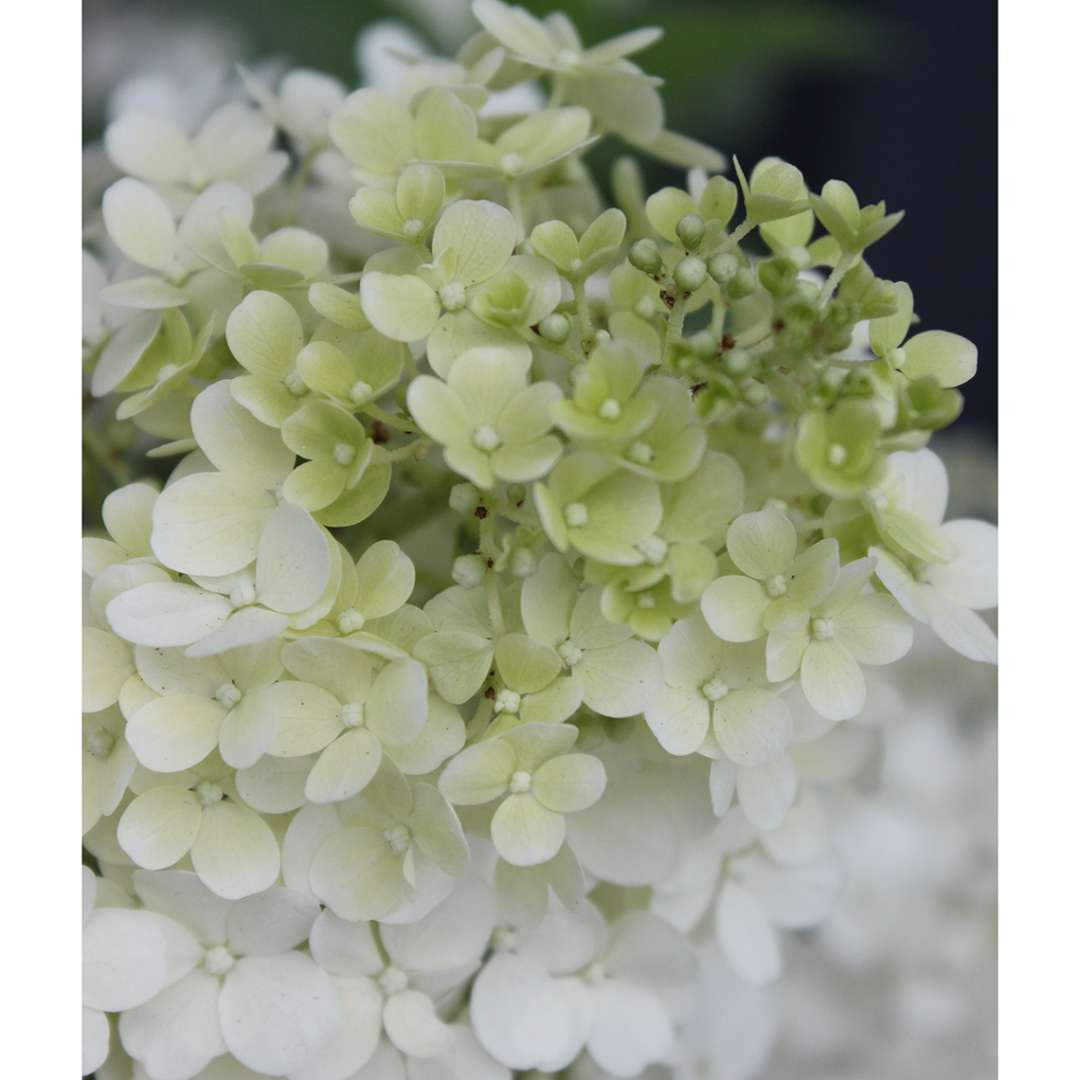 Closeup of the mophead bloom of Bobo panicle hydrangea in its white phase