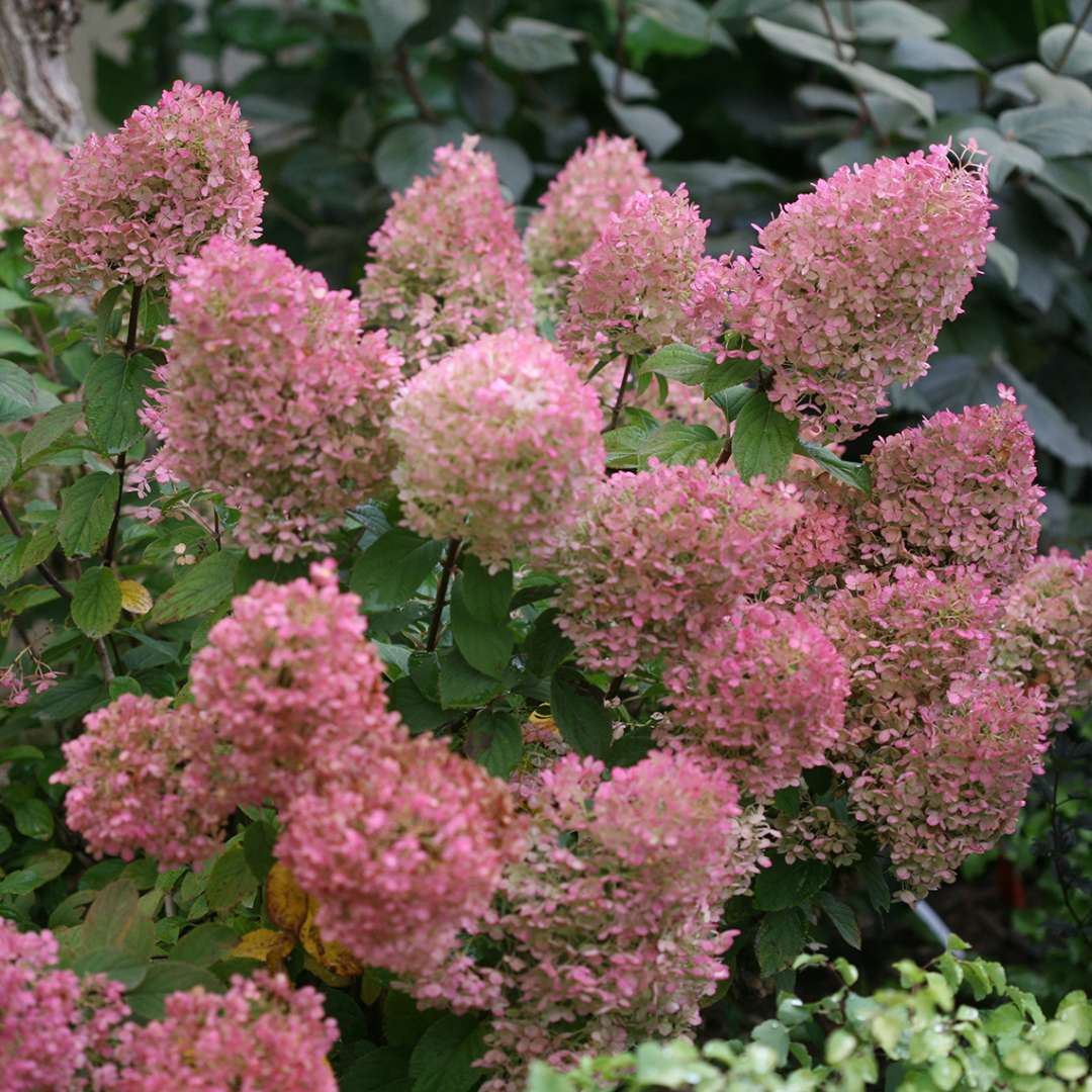Several blooms of Bobo panicle hydrangea in their pink phase