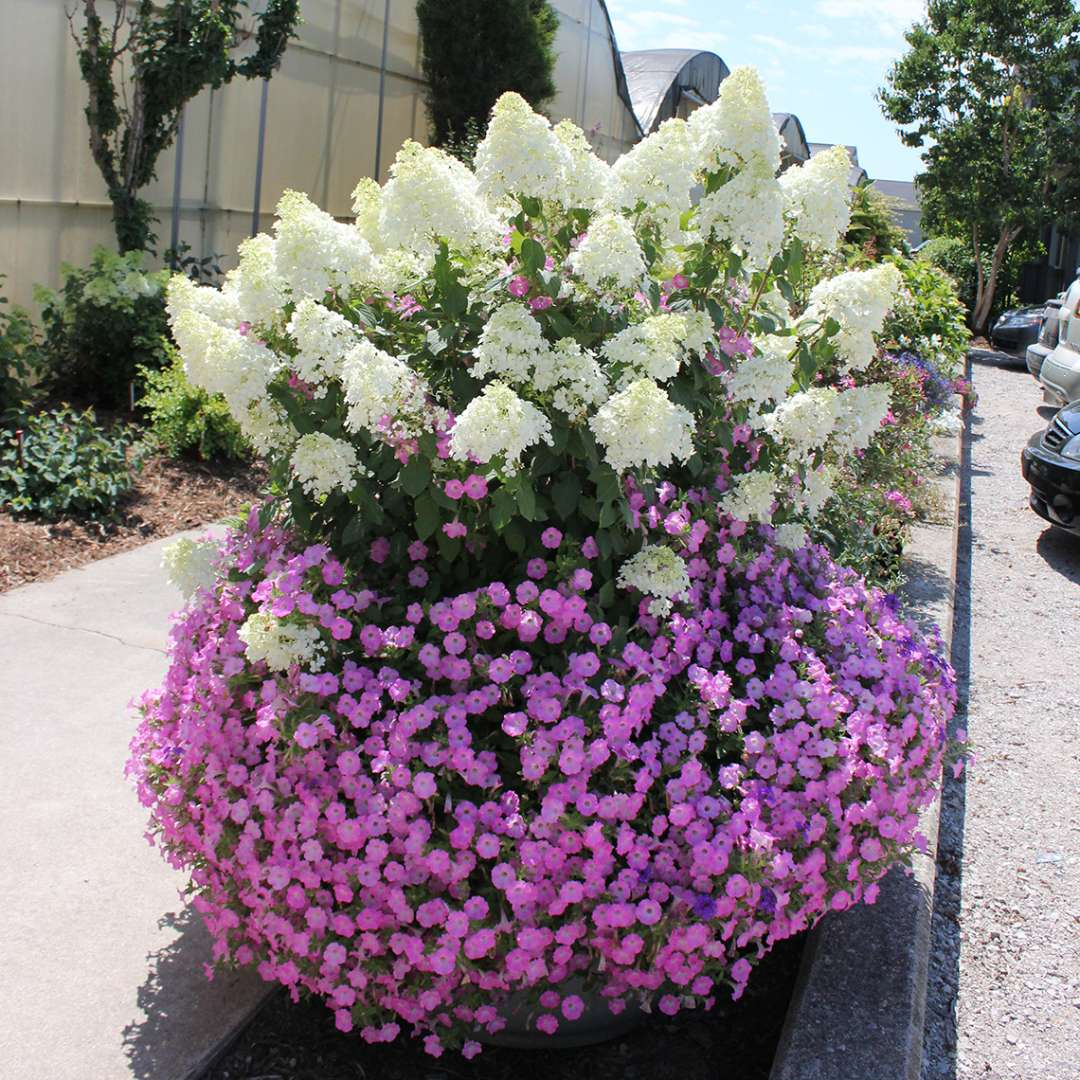 Bobo panicle hydrangea blooming in a large container surrounded by bright pink petunias