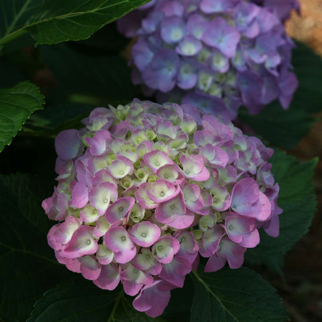 Cityline Berlin Hydrangea Spring Meadow Wholesale Liners