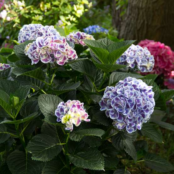 Cityline Mars hydrangea blooming in the landscape showing its unique two toned blooms which are blue and white