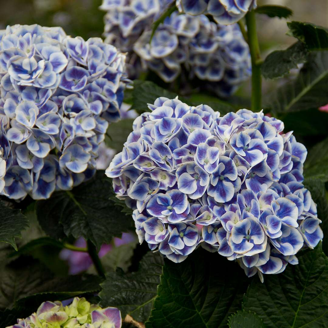 Closeup of the blue version of bicolor Cityline Mars hydrangea with each floret edged in crisp white