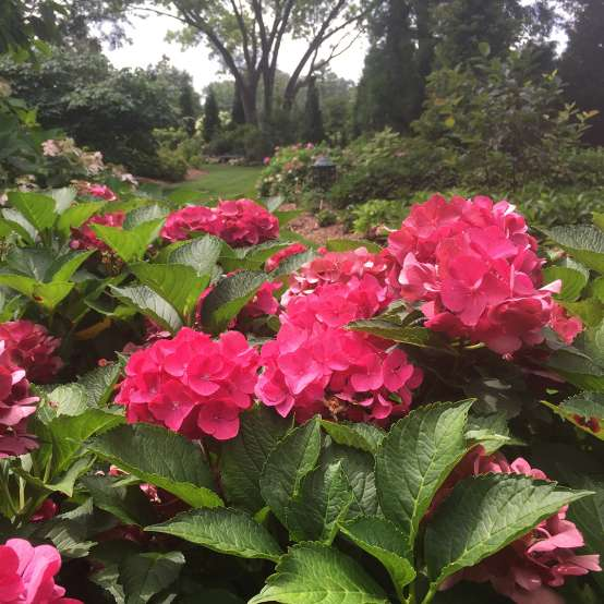 Cityline Paris hydrangea blooming in a garden surrounded by other hydrangeas and the mophead flowers are intensely red