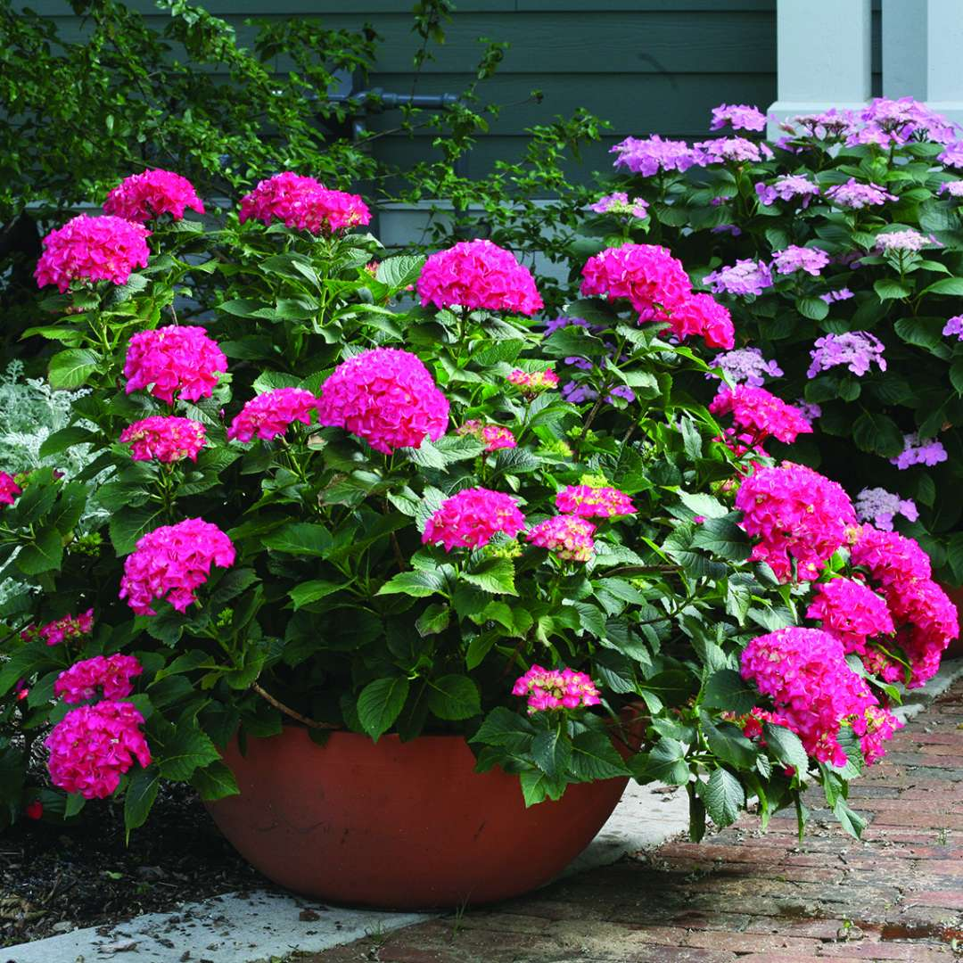 Cityline Paris hydrangea blooming in a large container covered in red flowers