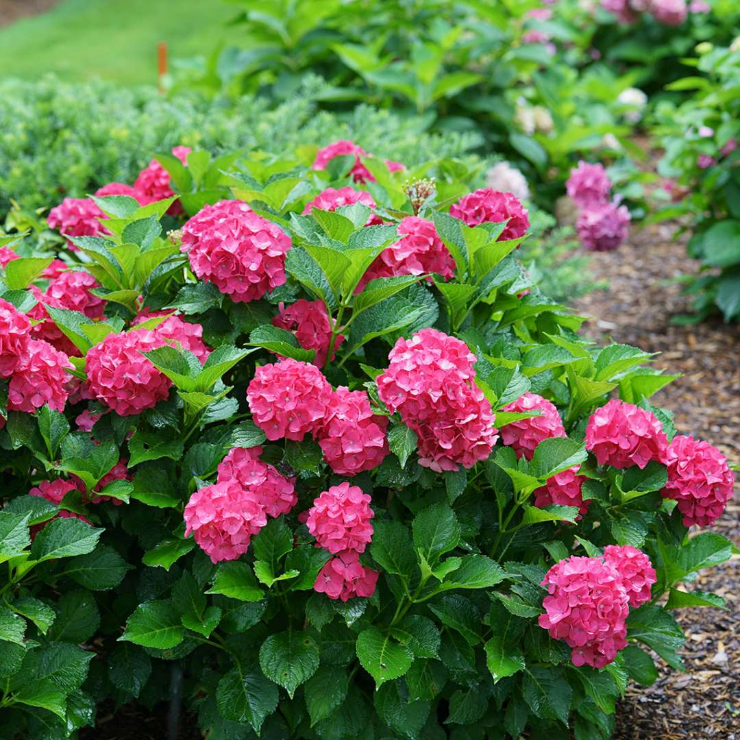 Dwarf Cityline Paris hydrangea blooming in a landscape covered in red flowers