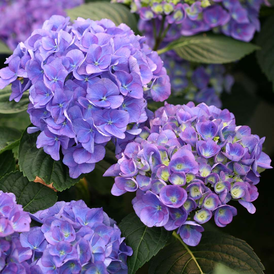 Four blue blooms on Cityline Rio hydrangea