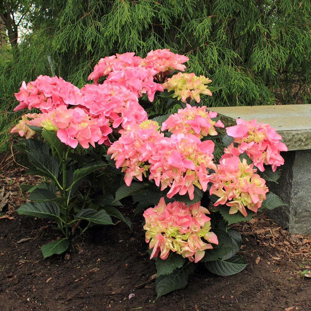Cityline Venice hydrangea blooming with pink mophead flowers next to a granite bench