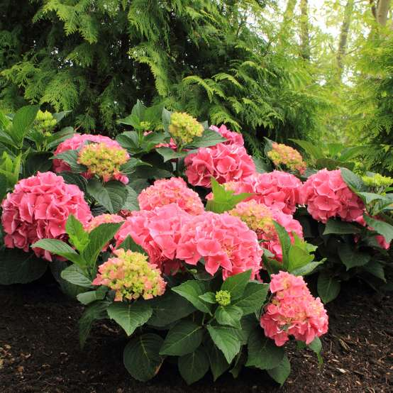 Cityline Vienna hydrangea covered in pink mophead blooms in a landscape against a background of arborvitae
