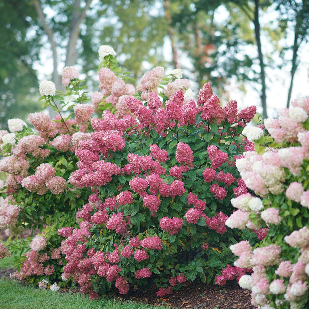 Fire Light panicle hydrangea blooming in a landscape covered in red mophead blooms