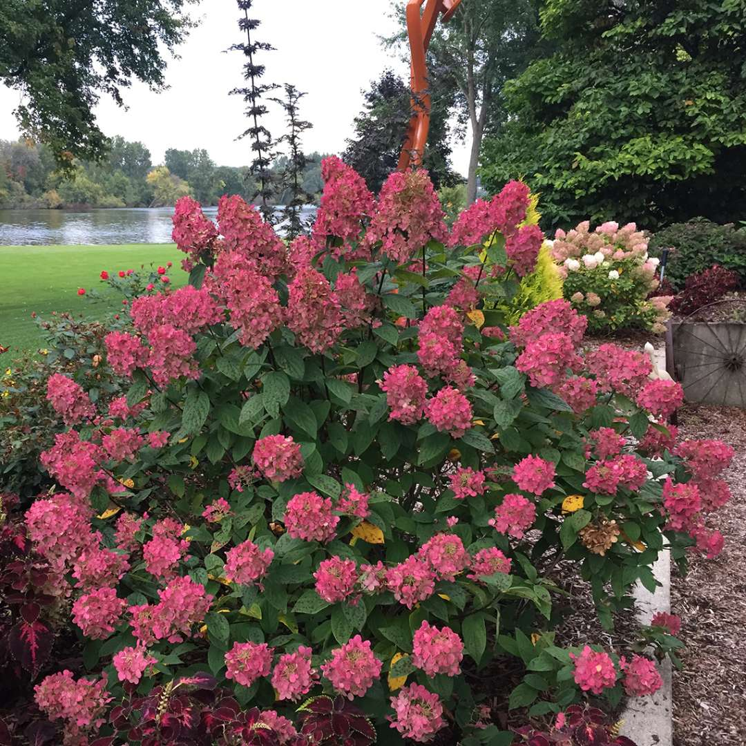 A single specimen of Fire Light panicle hydrangea covered in red mophead blooms