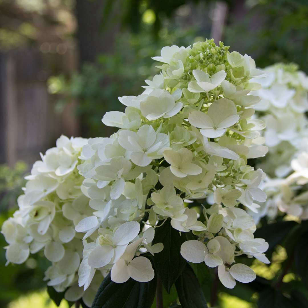 Closeup of the flowers of Fire Light panicle hydrangea in their white phase