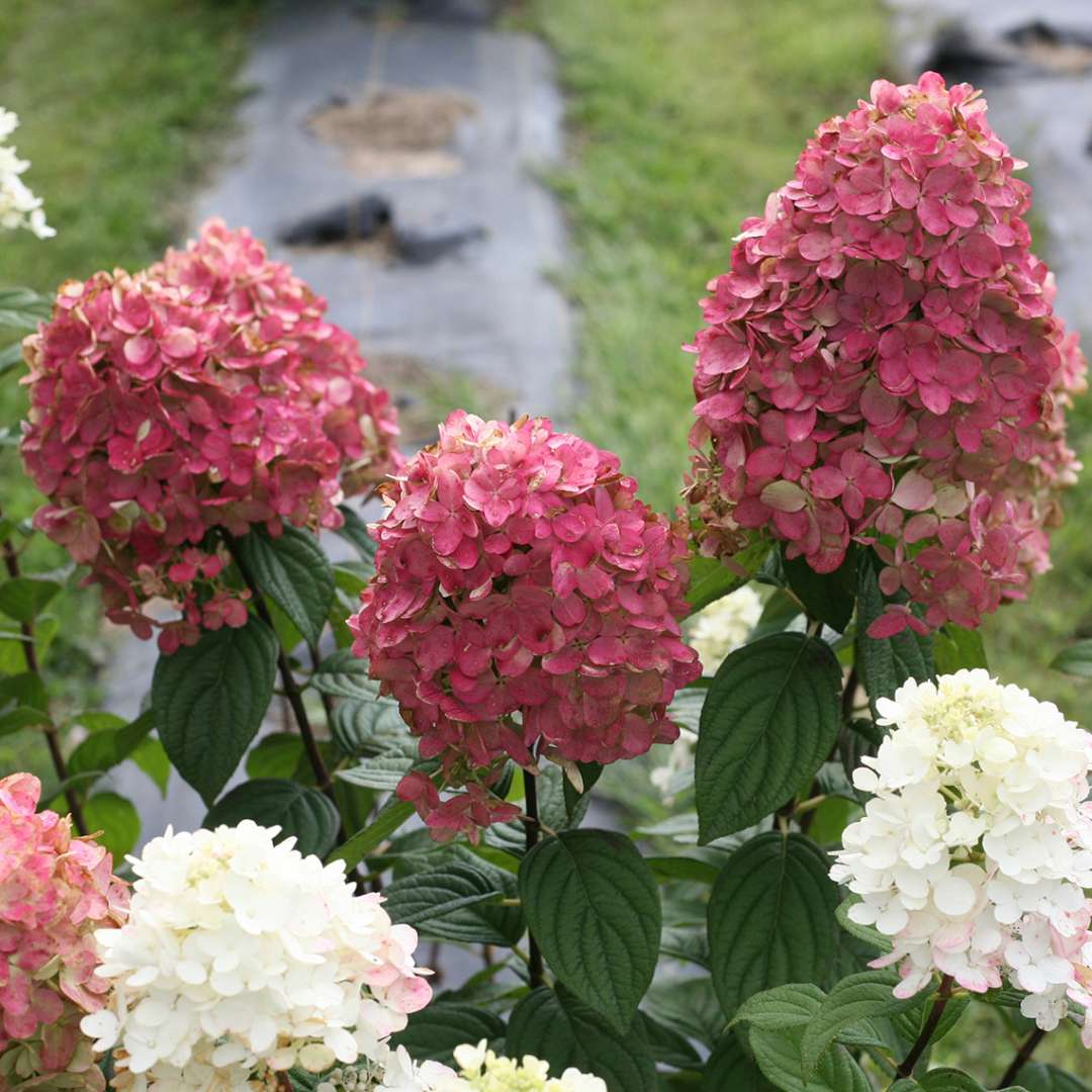 Closeup of the blooms of Fire Light panicle hydrangea showing both the white and red coloration